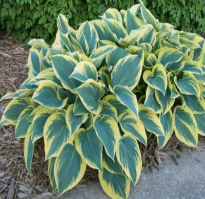 First Frost Hosta Healthy Heavy Established Rooted Perennial 4