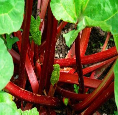 Canada Red Rhubarb - Rheum - Good Crop - Super Heavy Roots 1 Plant in 6.5
