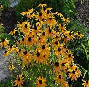 Black-Eyed Susan Plant Sun/shade garden Live dormant Starter plant Fast growing - Rancupid Mall