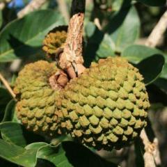Annona squamosa CUSTARD APPLE TREE SEEDS!