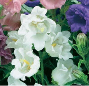50+ CAMPANULA CANTERBURY BELLS WHITE DOUBLE FLOWER SEEDS PERENNIAL/RABBIT RESIST - Rancupid Mall