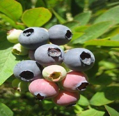 Blueberry - 'Sunshine Blue' - Vaccinium (Southern Highbush) - Rancupid Mall