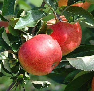 Malus domestica Mixed Varieties APPLE TREE Seeds!
