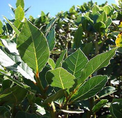 Laurus nobilis - 'Bay Leaf Tree' - Bay Laurel or Sweet Bay - Live Plant - Rancupid Mall