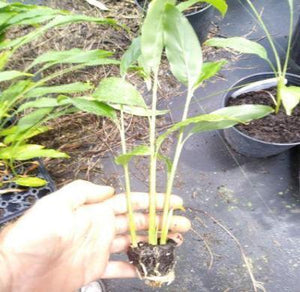 "Tasty Thai Ginger Galanga Plant, Rhizome, and Roots 6-8"" 5 plant FREE SHIPPING"