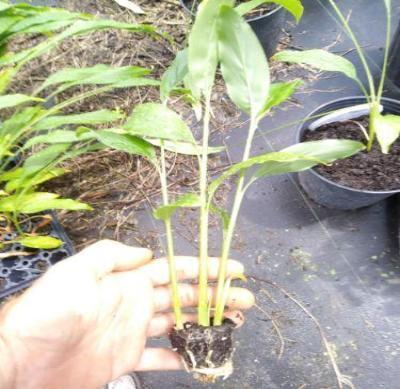 Tasty Thai Ginger Galanga Plant, Rhizome, and Roots 6-8