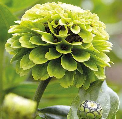 30+ ZINNIA GREEN ENVY HEIRLOOM FLOWER SEEDS / SEMI-DOUBLE FLOWER / BEST ZINNIA - Rancupid Mall