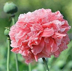 50+ POPPY SALMON FLOWER SEEDS / PAPAVER PAEONIFLORUM, PEONY, SELF-SEEDING ANNUAL - Rancupid Mall