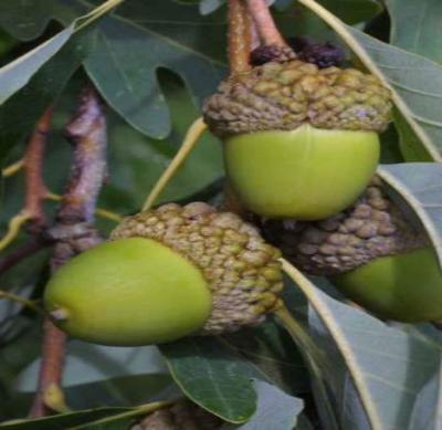 White Oak Tree - Shade Tree Acorns Deer Food Live Healthy - 3 Bare Root Plants