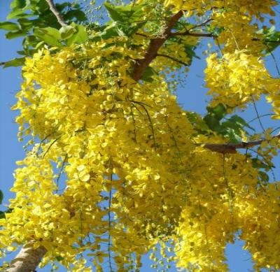 Golden Raintree - Flowering Tree Landscape Live Healthy - 2 Bare Root Plants - Rancupid Mall