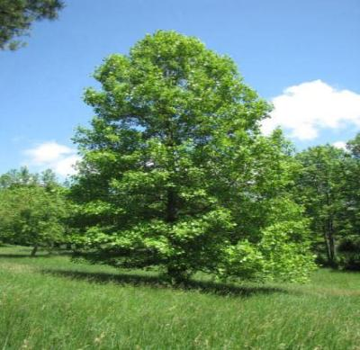 Tulip Poplar Tree - Flowering Shade Tree Live Healthy - 2 Bare Root Plants