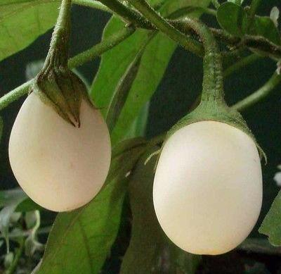 Easter Eggplant Solanum ovigerum 50 seeds * NON GMO * CombSH D63 - Rancupid Mall