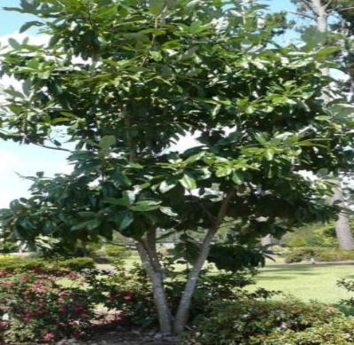 Sweetbay Magnolia Tree - Flowering Live Healthy - 3 Bare Root Plants