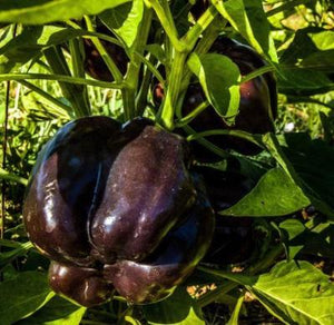 Heirloom PURPLE BEAUTY SWEET BELL PEPPER 100 Seeds VERY PRODUCTIVE Combine Ship - Rancupid Mall