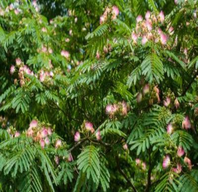 Mimosa Tree - Flowering Persian Silk Live Healthy - 3 Bare Root Plants