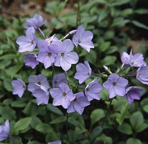 NEW !! 30+ PHLOX BLUE FLOWER SEEDS, FRAGRANT, EASY TO GROW, ANNUAL TO PERENNIAL