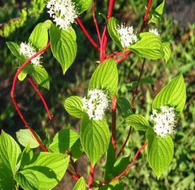 Coral Red Dogwood Shrub Red Osier Live Healthy Fast Growing - 3 Bare Root Plants - Rancupid Mall