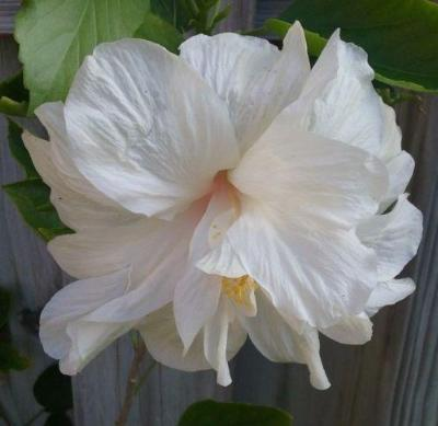 2 DOUBLE WHITE HIBISCUS WELL ROOTED LIVE STARTER PLANT 4