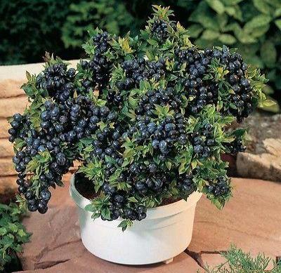 Blueberry - 'Top Hat' - Vaccinium (Northern Low Bush) - Rancupid Mall