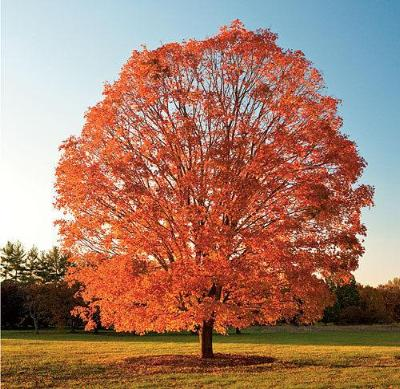 Sugar Maple Tree - Colorful Shade Tree Healthy 18-24