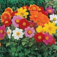 "25+ DAHLIA ""PICCOLO"" MIX FLOWER SEEDS / ANNUAL / EASY TO GROW / HUMMINGBIRDS"