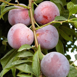 Methley Plum Tree Semi-Dwarf - Fruit Healthy Sapling Edible - 1 Bare Root Plant