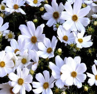 COSMOS PURITY Cosmos Bipinnatus - 100 Seeds - Rancupid Mall