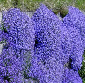AUBRIETA ROCK CRESS CASCADE BLUE Aubrieta Hybrida Superbissima - 500 Bulk Seeds - Rancupid Mall