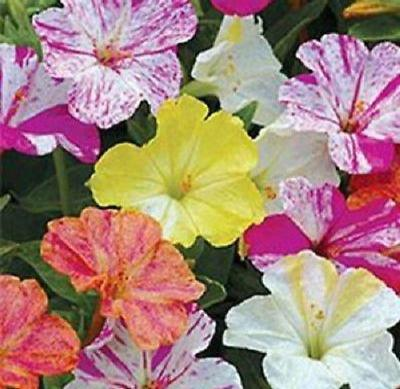 50+ FOUR O' CLOCK FLOWER SEEDS MIRABILIS JALAPA VERY FRAGRANT PERENNIAL EASY - Rancupid Mall
