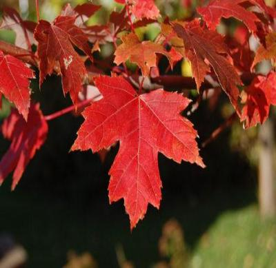 Red Maple Tree - Colorful Shade Tree Healthy 18-24