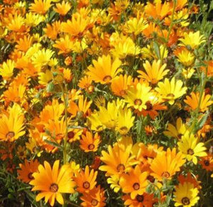 AFRICAN DAISY Dimorphotheca Sinuata - 500 Seeds - Rancupid Mall