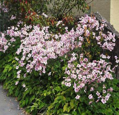 50+ ANEMONE MULTIFIDA WILDFLOWER MIX, ROSE-PINK & WHITE FLOWER SEEDS, HARDY! - Rancupid Mall