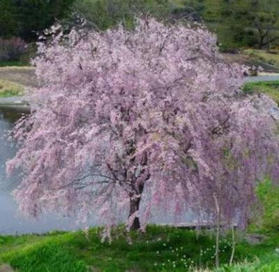 Shidare Yoshino Weeping Cherry Tree - Established Rooted - 3 Plants in 2.5