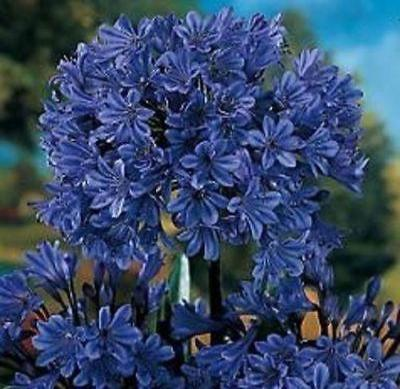Agapanthus - 'Storm Cloud' - Lily of the Nile - Rancupid Mall