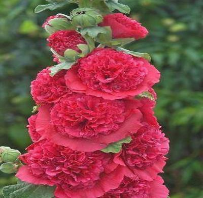 30+ HOLLYHOCK SCARLET RED CHATERS DOUBLE FLOWER SEEDS - ALCEA / PERENNIAL - Rancupid Mall