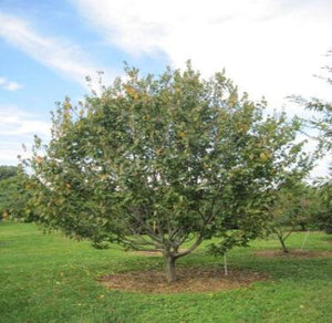 American Hornbeam Tree Ironwood Blue-Beech Musclewood 1 Plant in a 1 Gallon Pot - Rancupid Mall