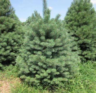 Scotch Pine Tree - Scots Pine Evergreen Live Established - 3 Plants in 2.5