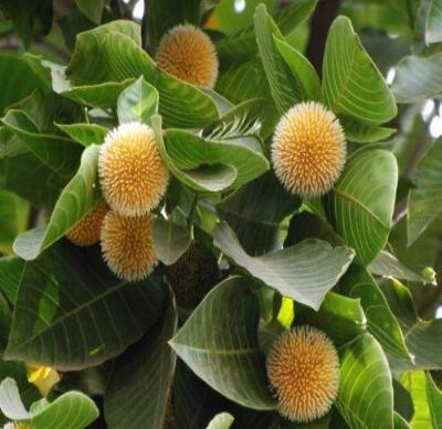 Neolamarckia cadamba BUR FLOWER TREE Exotic Seeds!