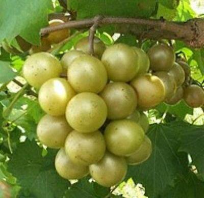 Vitis - 'Dixie' - Muscadine Grape