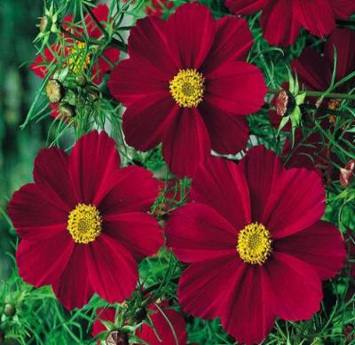 COSMOS RED VERSAILLES Cosmos Bipinnatus - 100 Seeds - Rancupid Mall