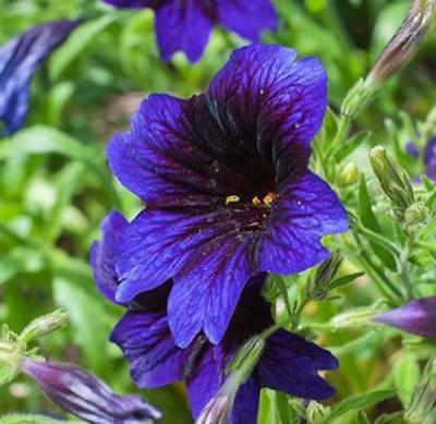 25+ SALPIGLOSSIS KEW BLUE FLOWER SEEDS / STAINED GLASS / PAINTED TONGUE