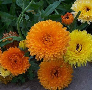 40+ CALENDULA PACIFIC BEAUTY MIX FLOWER SEEDS / DEER RESISTANT / ALL ZONES - Rancupid Mall