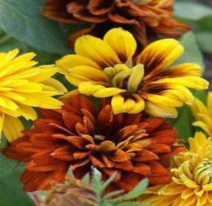 30+ RUDBECKIA MOROCCAN SUN FLOWER SEEDS / DEER AND RABBIT RESISTANT/ PERENNIAL - Rancupid Mall