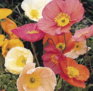 35+ ICELAND POPPY CHAMPAGNE BUBBLES MIX FLOWER SEEDS / PAPAVER / DEER RESISTANT - Rancupid Mall