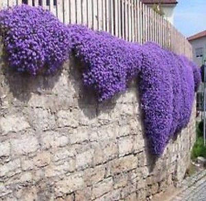 50+ AUBRIETA ROYAL VIOLET, ROCK CRESS FLOWER SEEDS, PERENNIAL , DEER RESISTANT ! - Rancupid Mall