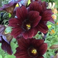 25+ SALPIGLOSSIS ROYALE CHOCOLATE FLOWER SEEDS / STAINED GLASS / PAINTED TONGUE