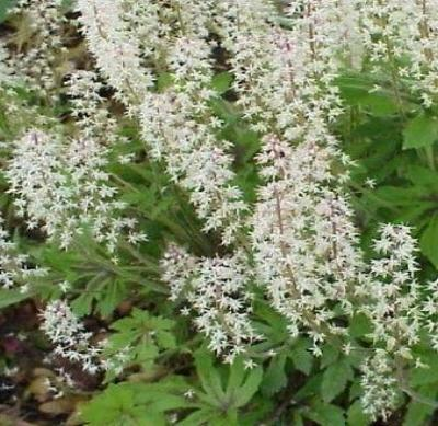 20+ TIARELLA FOAMFLOWER FLOWER SEEDS, GROUNDCOVER, SHADE, PERENNIAL, DEER RESIST - Rancupid Mall