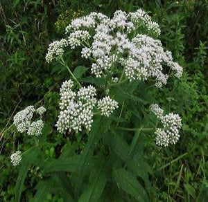 "50+ EUPATORIUM PERFOLIATUM ""BONESET"" FLOWER SEEDS / PERENNIAL / EASY TO GROW - Rancupid Mall"
