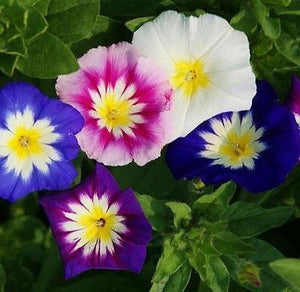25+ MORNING GLORY MIX CONVOLVULUS ENSIGN SERIES BUTTERFLY / HUMMINGBIRD / BEES - Rancupid Mall