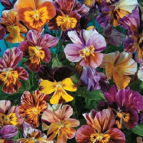25+ VIOLA BRUSH STROKES FLOWER SEEDS MIX / PANSY / PERENNIAL / EASY / RARE!